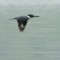 kingfisher in flight thumbnail