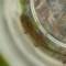 pacific gian -salamander larva thumbnail