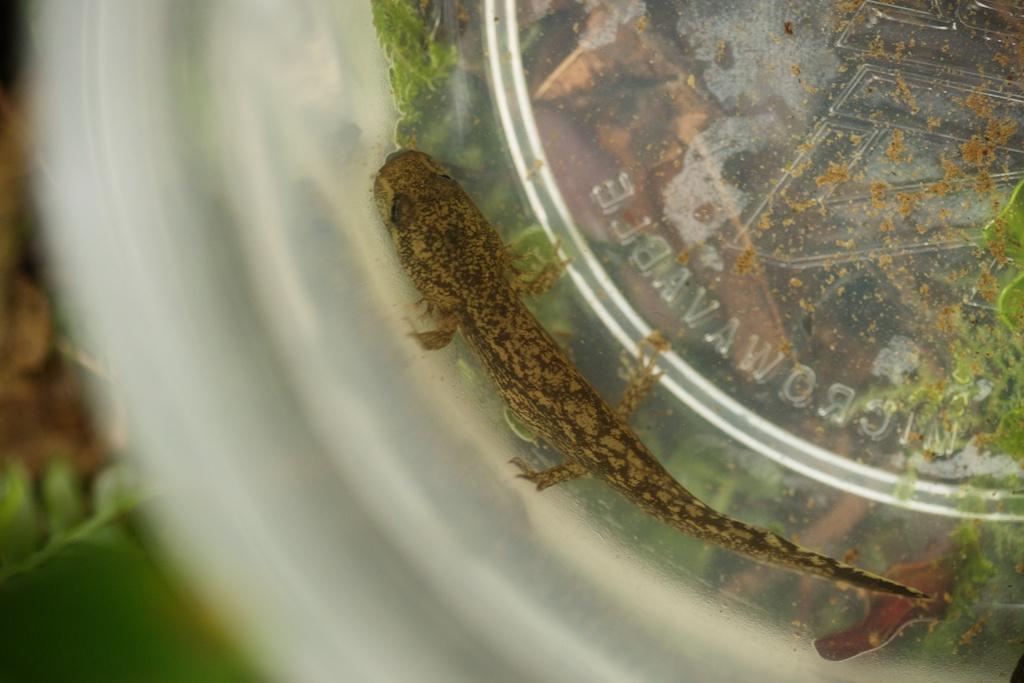 pacific gian -salamander larva