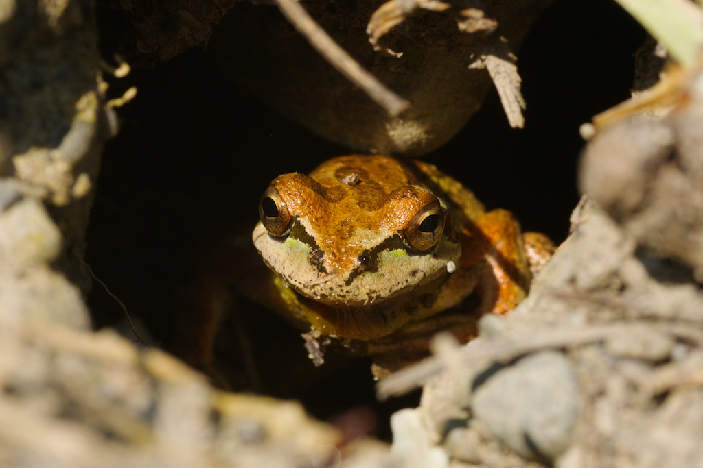 pacific tree frog in burrow