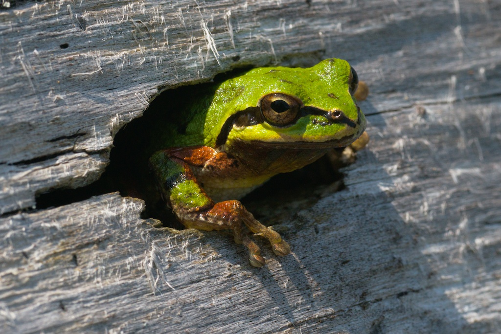 pacific tree frog in log