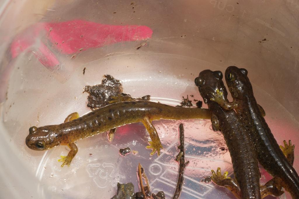 torrent salamanders